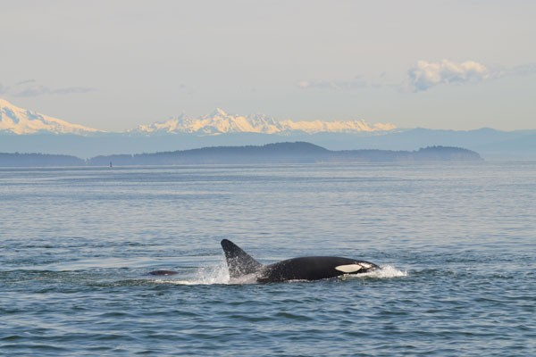 playful orca uncruise